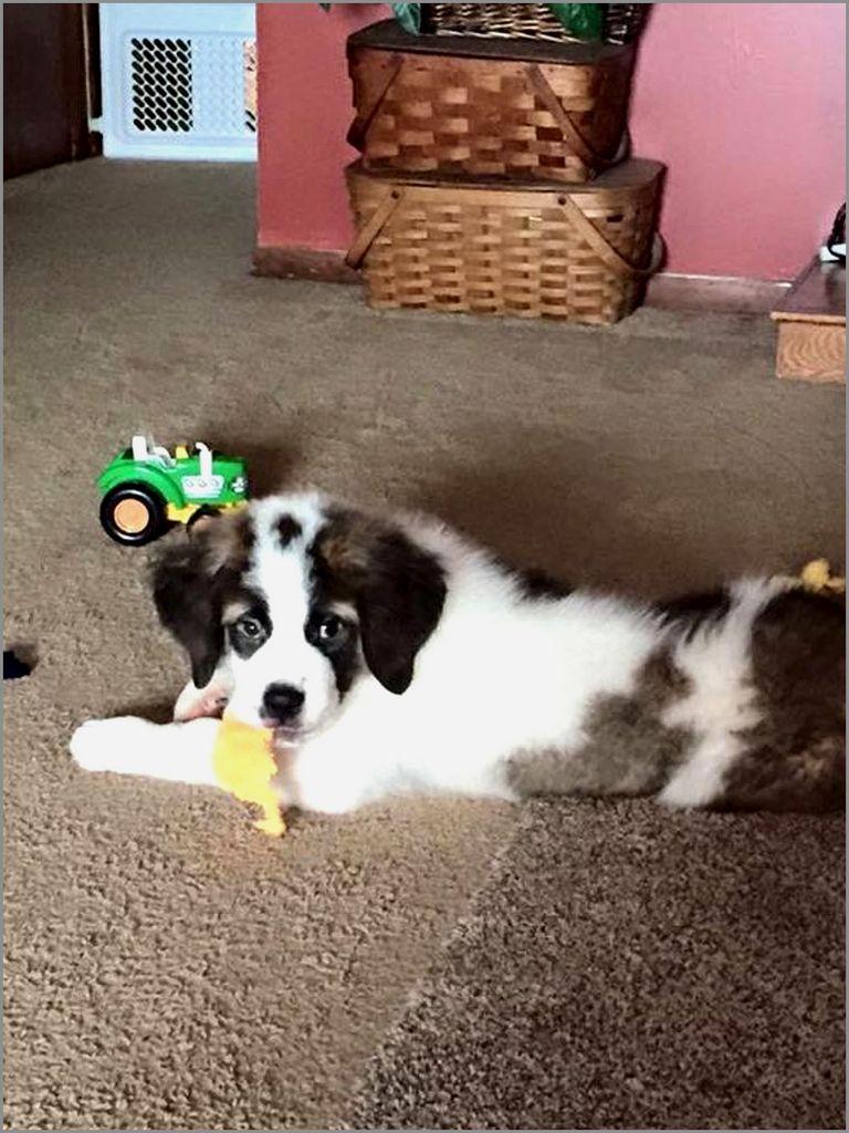 English Bulldog Puppies For Sale In Cincinnati Ohio