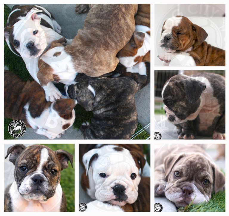 English Bulldog Puppies For Sale In Los Angeles