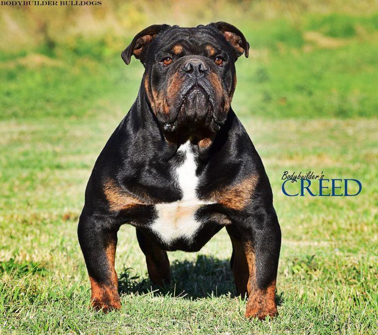 English Bulldog Puppies For Sale In Roanoke Va