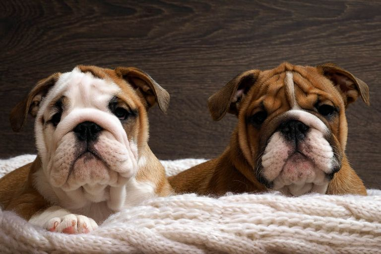 English Bulldog Puppies For Sale In St Louis Mo