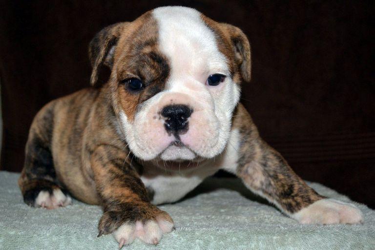 English Bulldog Puppies For Sale In Va Beach