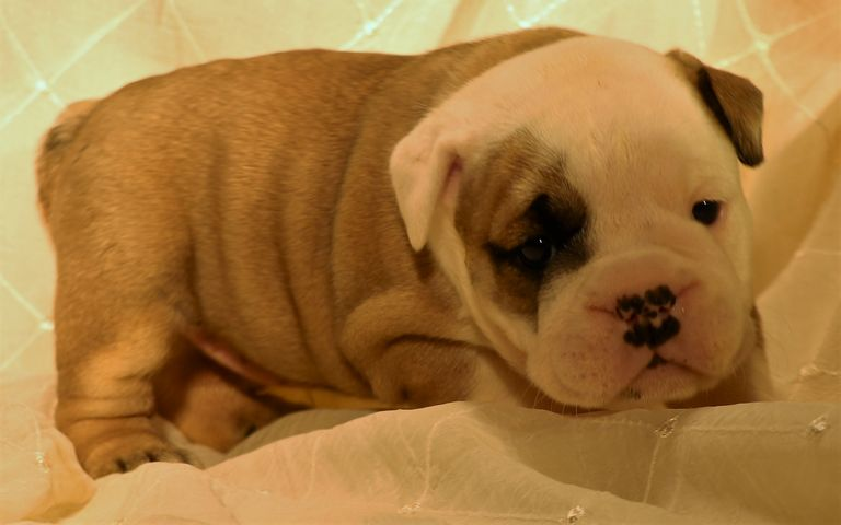 English Bulldog Puppies For Sale Near Denver Co   Top Dog