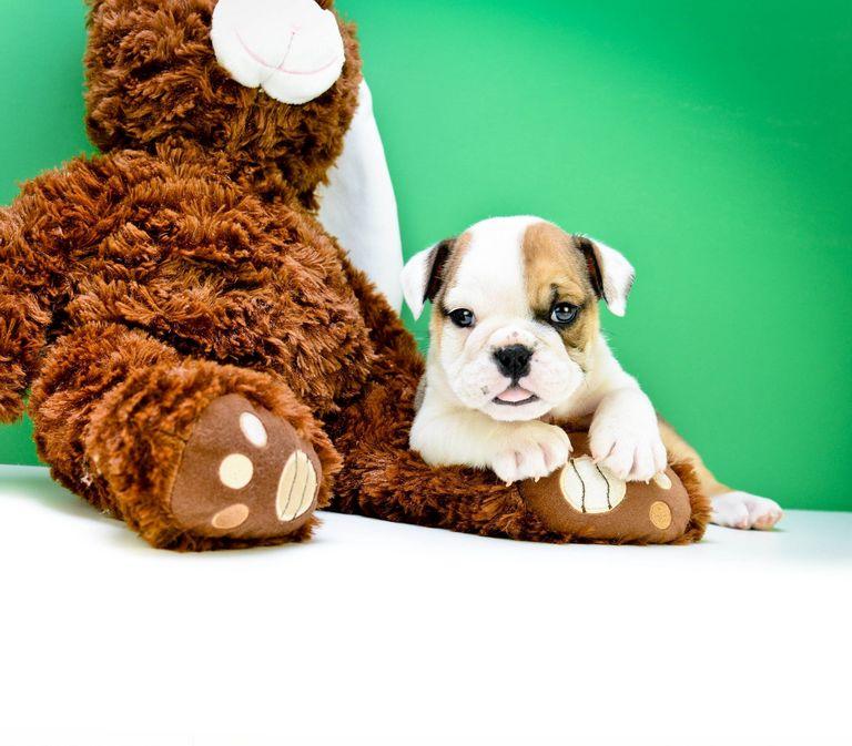 English Bulldog Puppies For Sale Under 500 Near Me