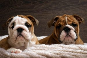 English Bulldog Puppies Missouri
