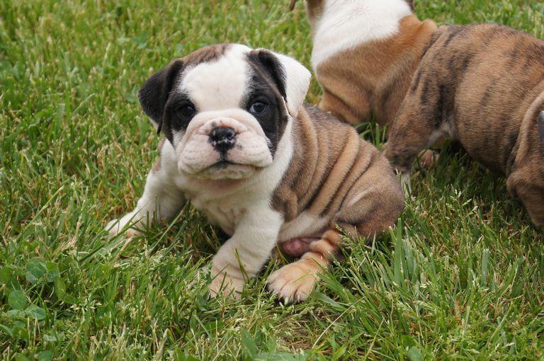 English Bulldog Puppies Rochester Ny