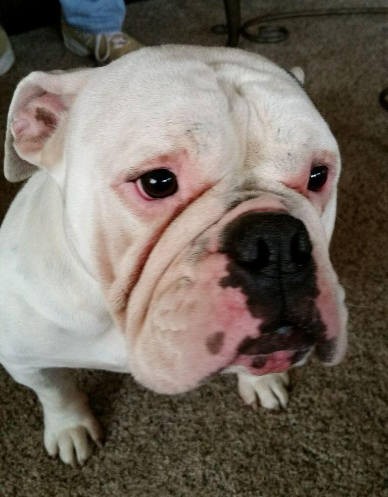English Bulldog Redding Ca | Top Dog Information