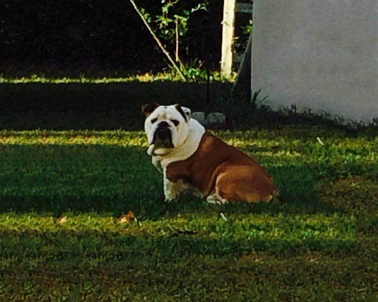 English Bulldog Rescue Alabama