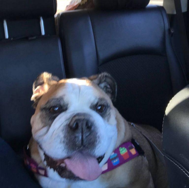 English Bulldog Rescue Nebraska