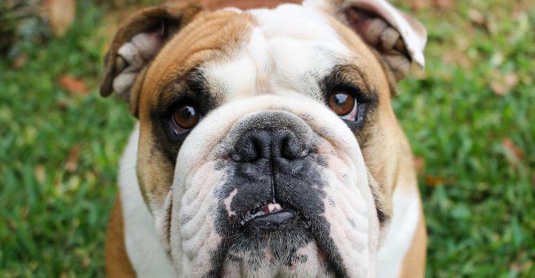 English Bulldog Rescue Texas