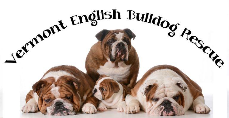 English Bulldog Rescue Top Dog Information