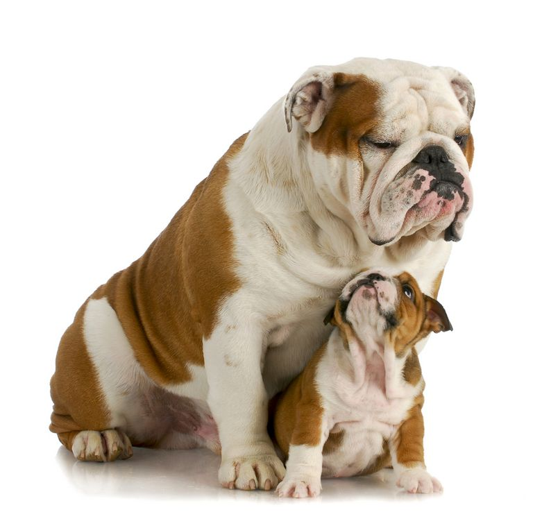 English Bulldog Studs Colorado