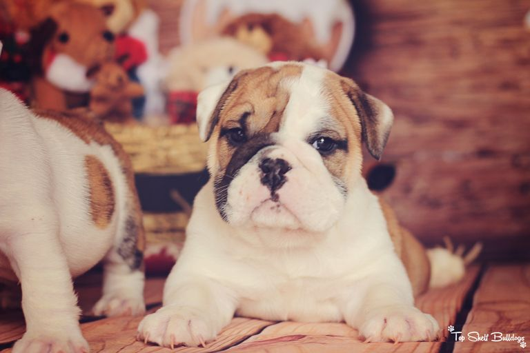 English Bulldogs For Sale In Florida Under 500