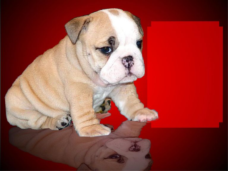 English Bulldogs For Sale In Midwest