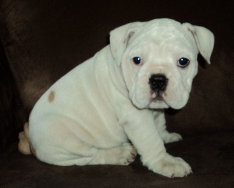 English Bulldogs For Sale In Wisconsin