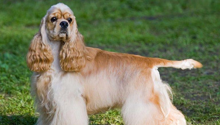 English Cocker Spaniel Puppies For Sale Near Me