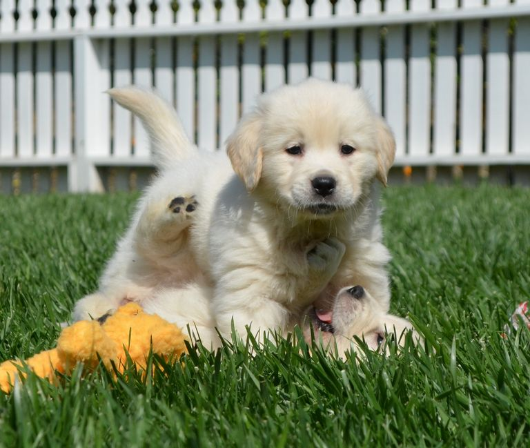 English Cream Golden Retriever Breeders In The Midwest