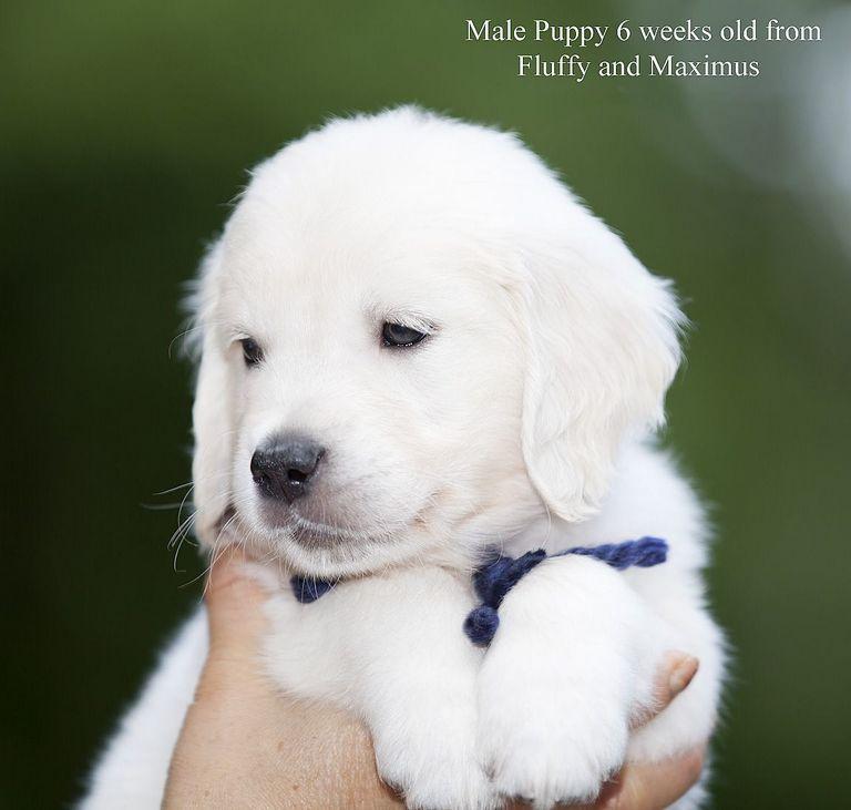 English Cream Golden Retriever Puppies Florida