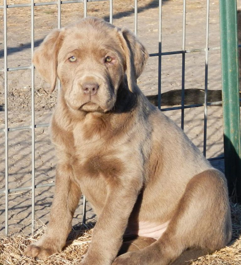 English Lab Puppies For Sale In Oklahoma