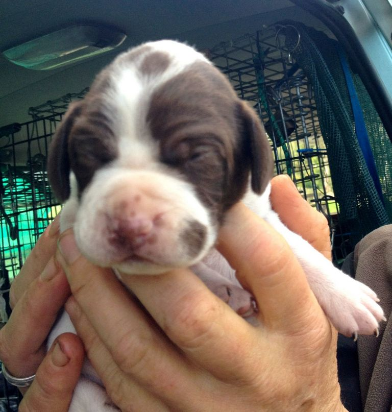 English Pointer Puppies Pictures