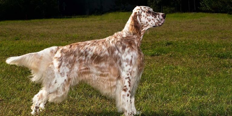 English Setter Poodle Mix For Sale