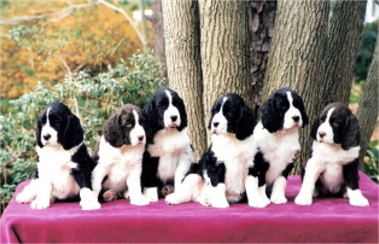 English Springer Spaniel Puppies For Sale In Pa