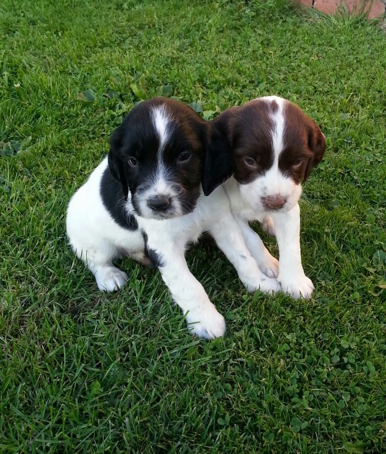 English Springer Spaniel Puppies Sale