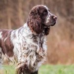 English Springer Spaniel Rescue Pa