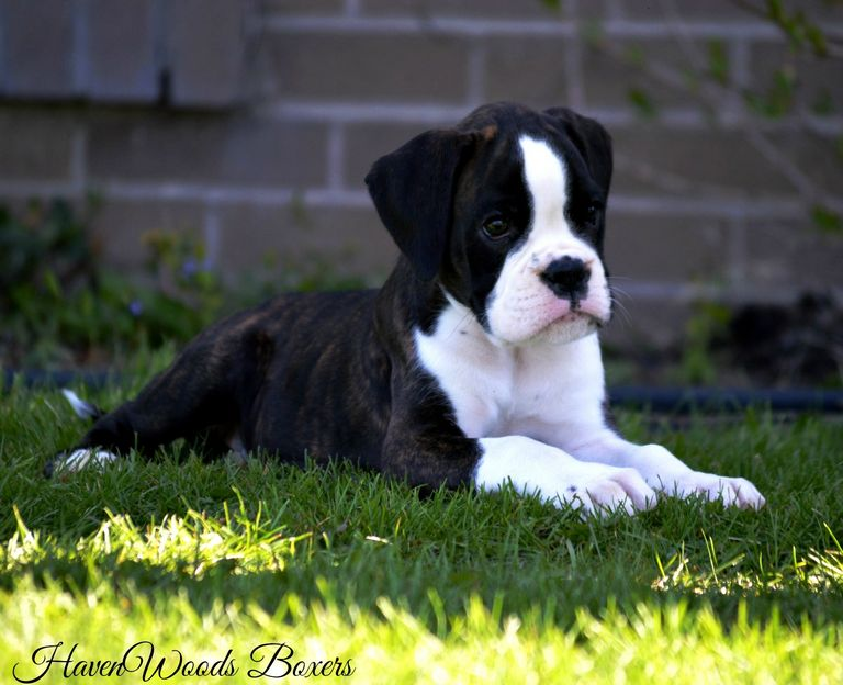 European Boxer Puppies For Sale In Illinois