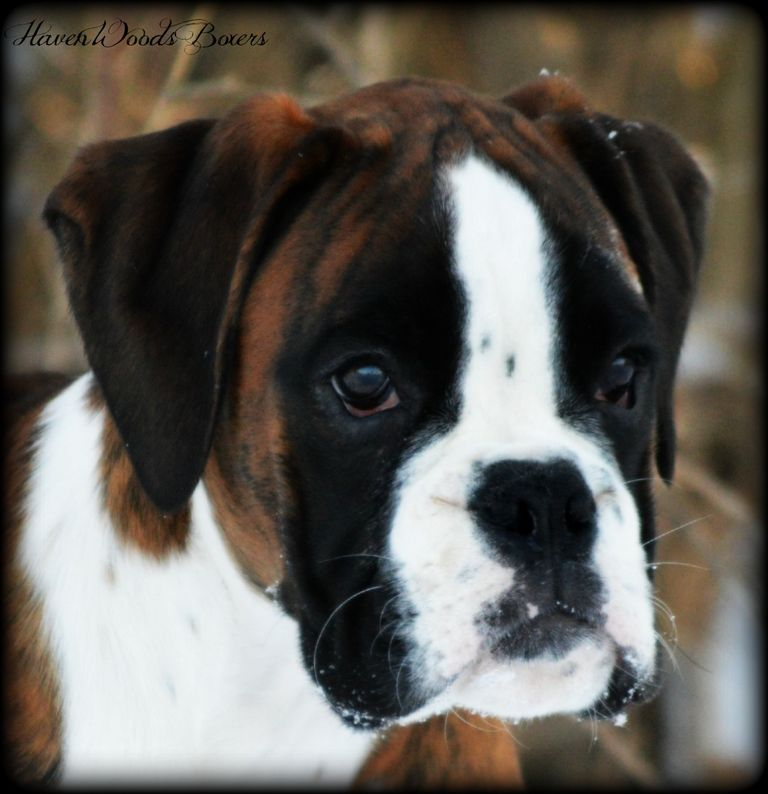 European Boxer Puppies For Sale In Indiana