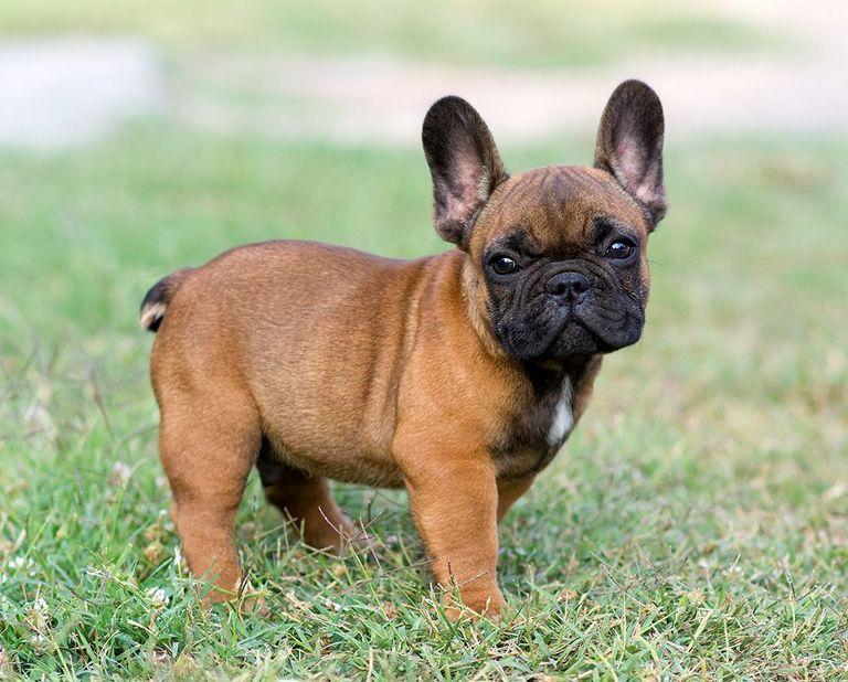 European French Bulldog Breeders