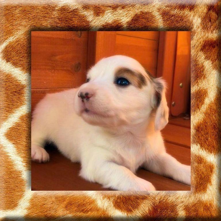 Extreme Piebald Miniature Dachshund Puppies For Sale