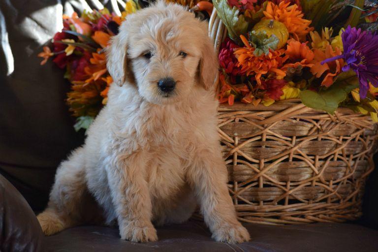 F1 Goldendoodle Puppies Missouri