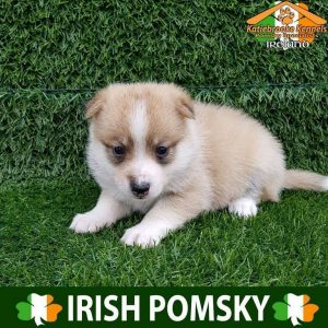 F1 Pomsky Puppies For Sale