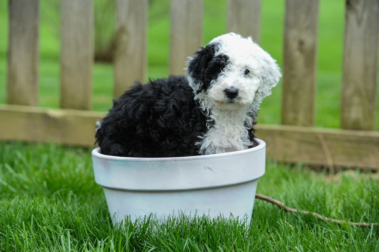 F1b Sheepadoodle For Sale