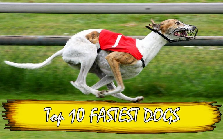Fastest Dog In The World 2018