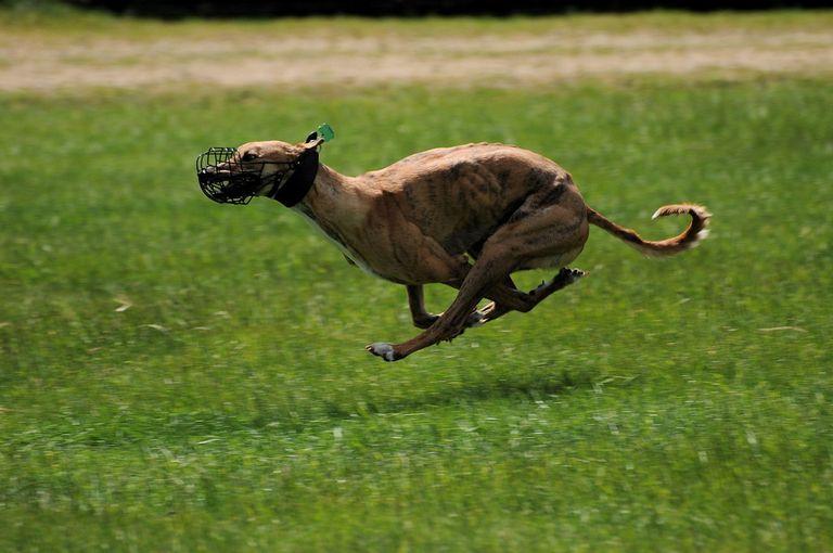 Fastest Greyhound
