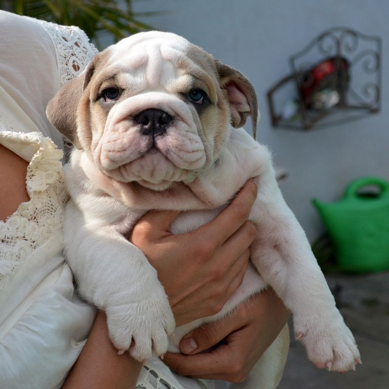 Fawn English Bulldog Puppies For Sale