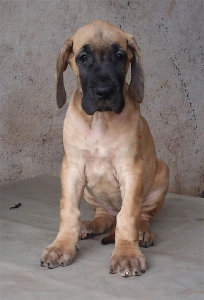 Fawn Great Dane Puppy For Sale