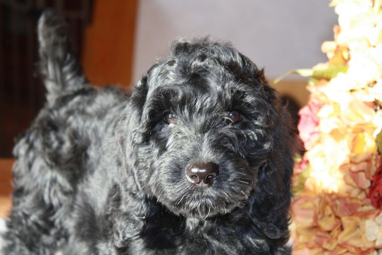 Female Labradoodle For Sale