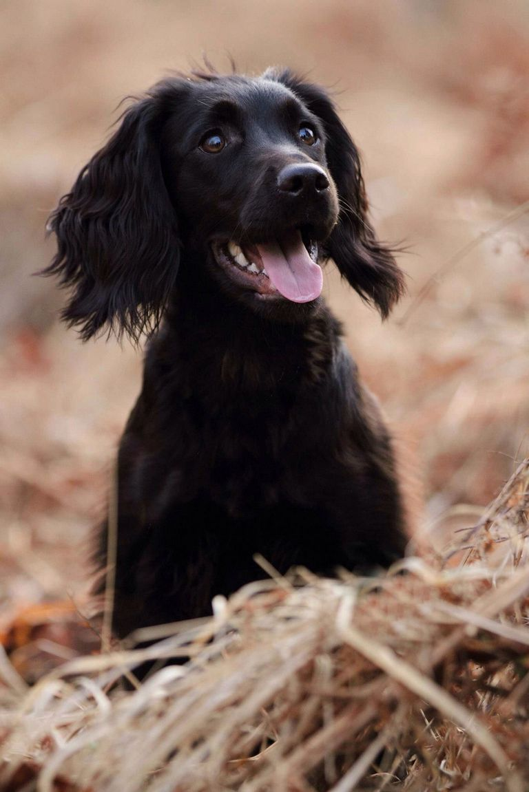 Field Trial Cocker Spaniel Puppies For Sale