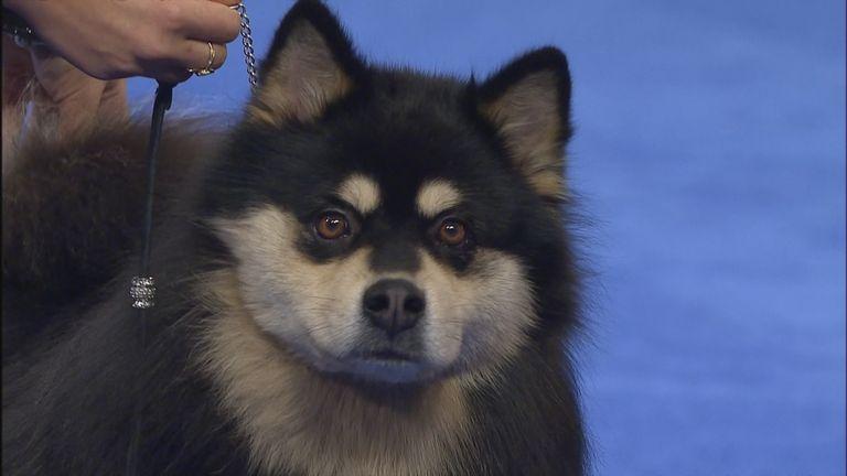 Finnish Lapphund National Dog Show
