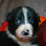 Firestorm Border Collies