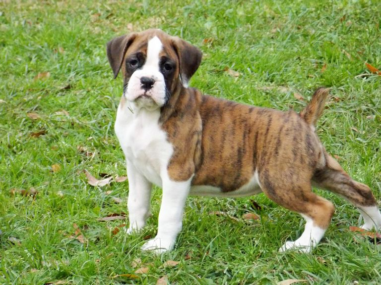 Flashy Brindle Boxer Puppies For Sale