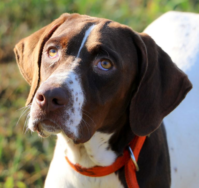 Florida Pointer Rescue