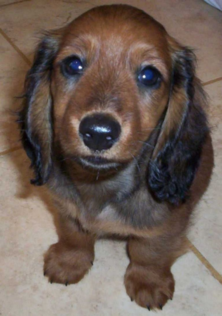 Fort Smith Long Haired Miniature Dachshund | Top Dog ...