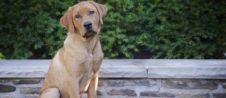 Fox Red Lab Puppies For Sale Alabama