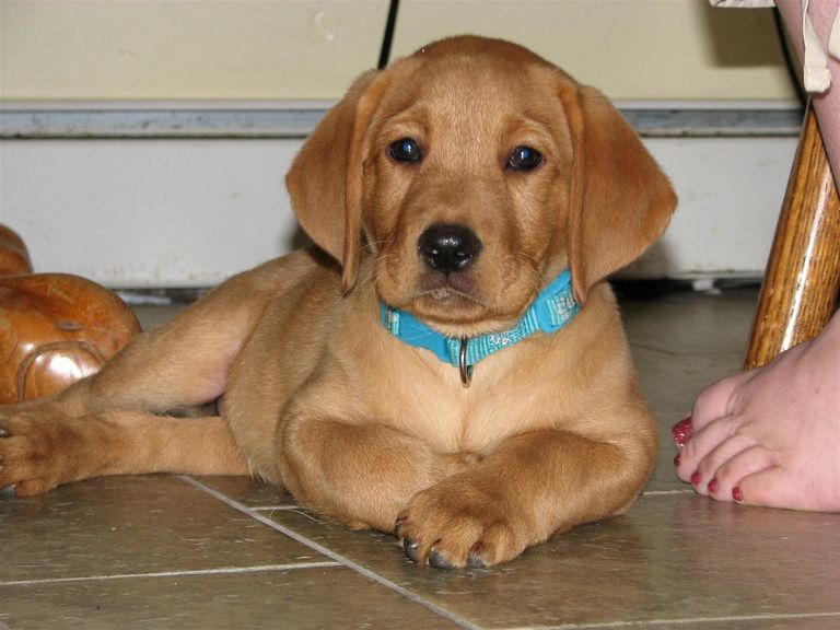 Fox Red Lab Puppies For Sale In Ny