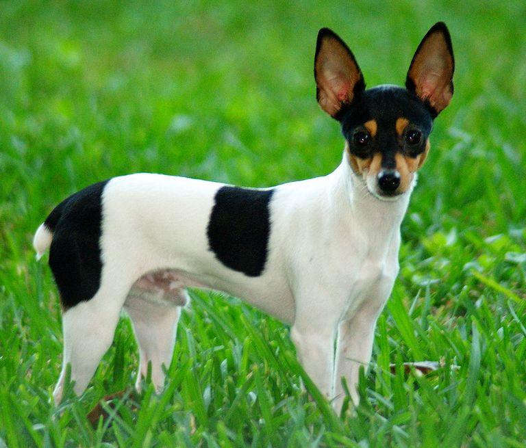Fox Terrier For Sale Near Me