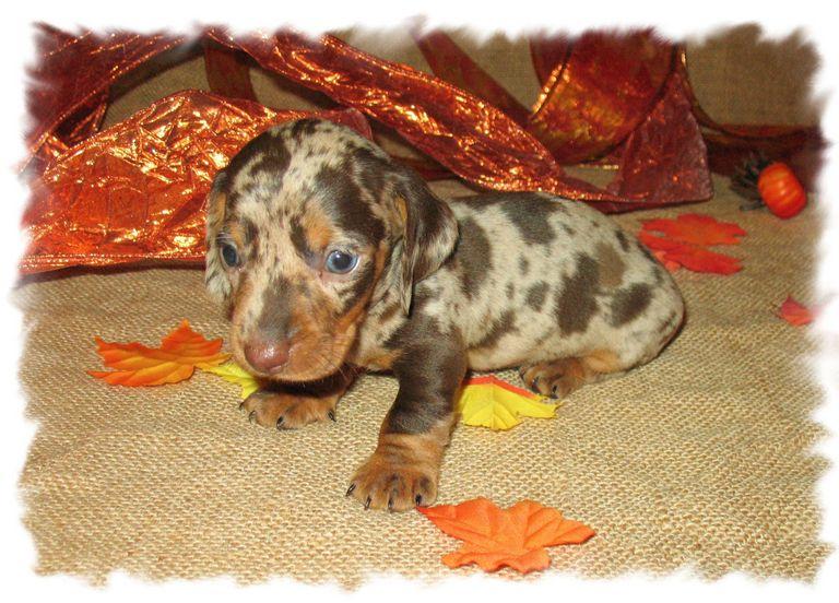 Free Dachshund Puppies In Alabama | Top Dog Information