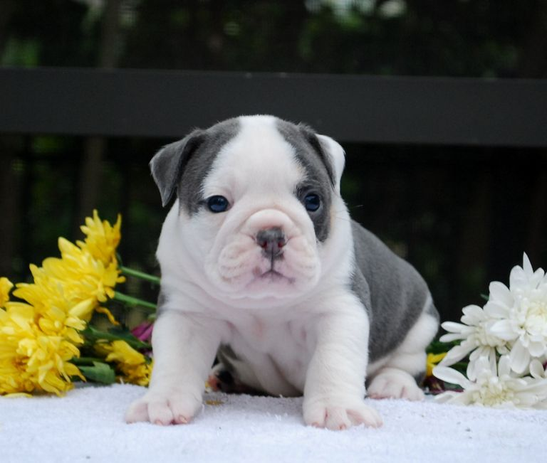 Free English Bulldog Puppies Florida